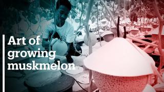 Music, massage help Japanese muskmelons grow in new environment