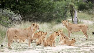 South Africa to ban lion hunting, breeding in captivity | Money Talks