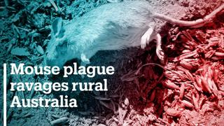 Mouse plague ravages rural Australia