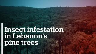 Lebanon's pine harvest collapses amid insect infestation