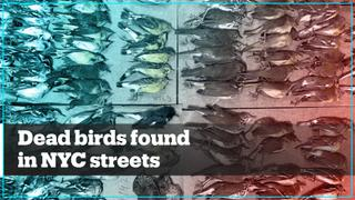 Hundreds of migratory birds die after crashing into NYC skyscrapers