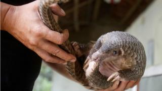China removes pangolin scales from traditional medicine list | Money Talks