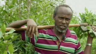 Ethiopia Khat Farming: Coffee growers turn to alternative crops