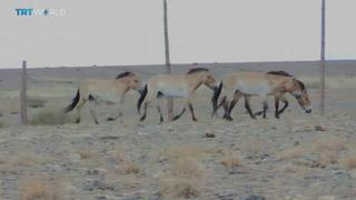 Mongolian Horses: Species reintroduced to their native habitat