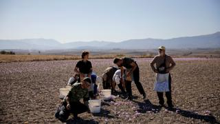 Spice Market: Greece's saffron trade blooms in wilted economy