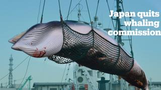 Japan quits whaling commission to resume hunting whales commercially