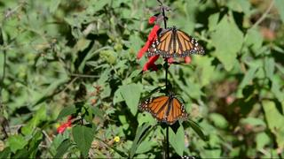 Monarch Butterflies: Mexico's overwintering population rises by 144%