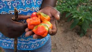 Central African Republic Farming: Organic farming takes root in Bangui
