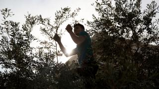 The War in Syria: Olive oil income booms after Afrin liberation