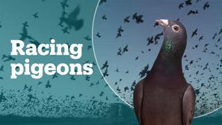 What's pigeon racing?