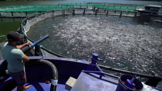 Algae infestation threatens Chilean salmon farms | Money Talk
