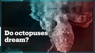 Do octopuses change colours when they're dreaming?