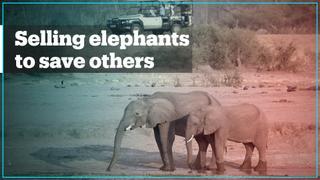 Zimbabwe sold 30 baby elephants to China