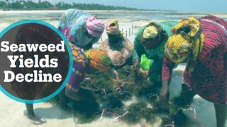 Zanzibar Seaweed Industry: Climate change threatens farmers' livelihoods