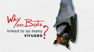 Why are bats linked to so many deadly viruses?