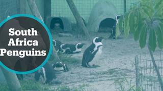 Offshore bunkering deepens fears for South Africa's penguin haven