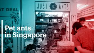 Ants as pets is all the craze in Singapore