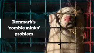 Denmark faces 'zombie minks' problem
