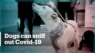 Dogs can sniff out Covid-19