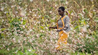 Kenyan startup turns locusts into animal feed and fertiliser   Money Talks