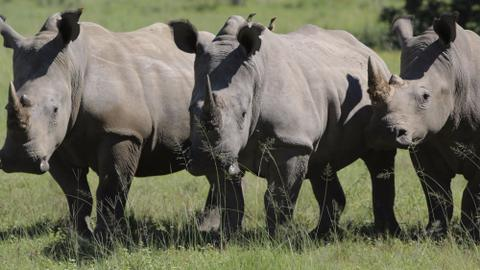 Jewellery demand creates a new market for rhino poachers