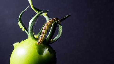 In a first, researchers find tomato fruits communicate with tomato plants