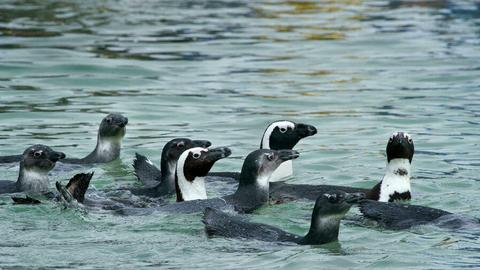 Endangered penguins killed by swarm of bees in South Africa