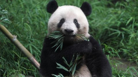 Pandas become too lazy to mate in a perfect habitat, scientists suggest