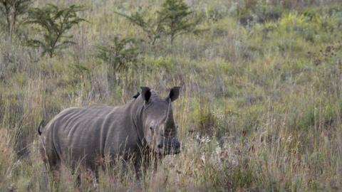 South African rhino horn stockpile could fetch $2B