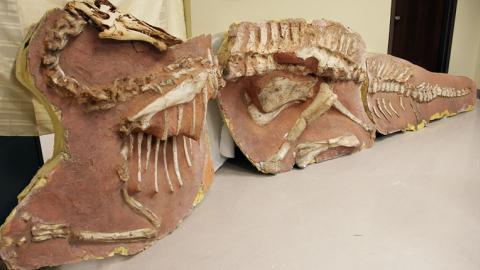US refunds looted dinosaur fossils to Mongolia