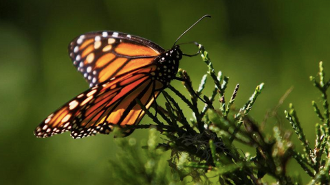 Climate change in North America leaves monarch butterfly vulnerable