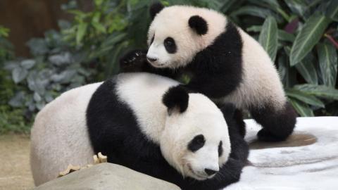 Giant pandas no longer on 'endangered' list