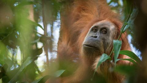 Police arrest five who killed orangutan in Borneo with airgun