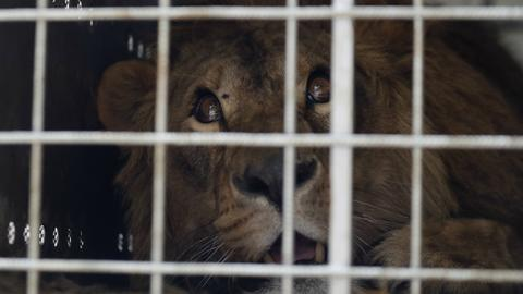 Two lions from Mideast war zones head to South African refuge