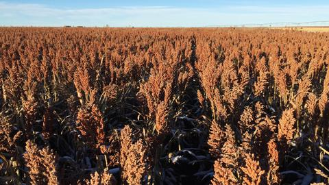 US sorghum armada U-turns at sea after China tariffs