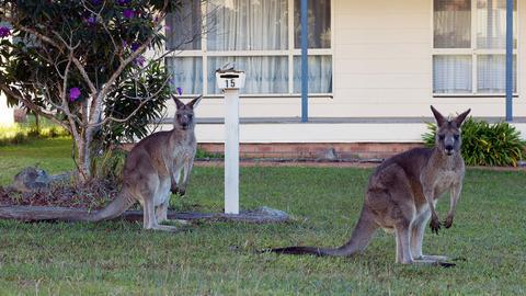 Australia plans to cull over one million kangaroos