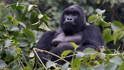 Endangered mountain gorilla population recovers to over 1,000
