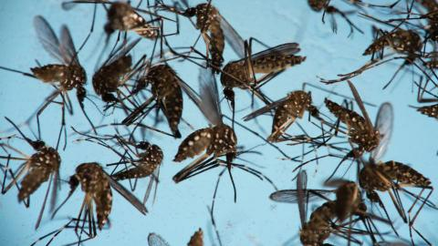 Colombia and Brazil to unleash modified mosquitos against new diseases