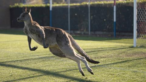 Kangaroo stops play during Australian women's football match