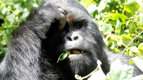DRC to open mountain gorilla parks to oil drilling