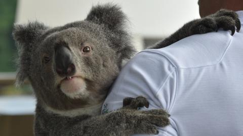 Koala gene map could help fight threat to species survival