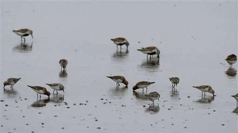 Migratory birds flock to undeveloped shores in N Korea