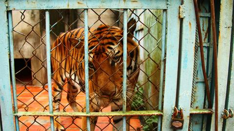 Malaysia arrests poachers, seizes Malayan tiger skins
