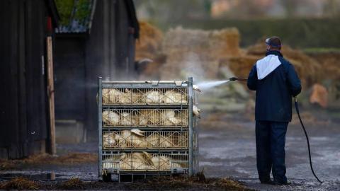 Bird flu hits Europe