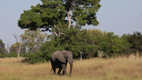 Botswana may put elephants in cross-hairs as it moves to lift hunting ban