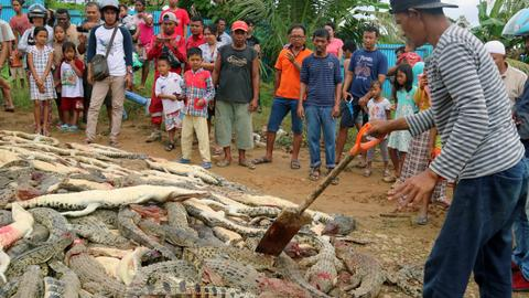 Indonesian villagers kill nearly 300 crocodiles in reprisal attack