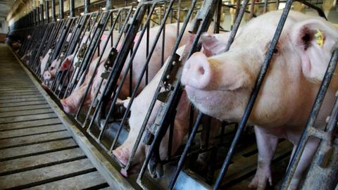 Trump's trade war takes toll on US pig farmers