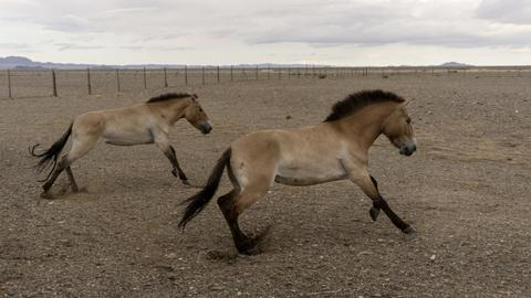 Zoo releases endangered horses into native environment in Mongolia