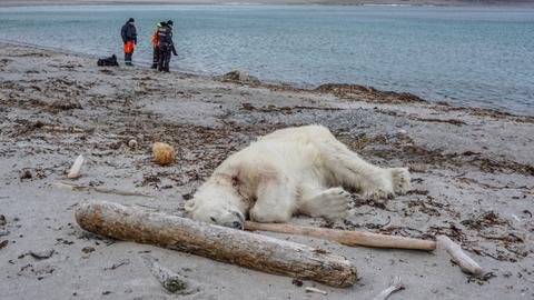 Polar bear shot dead after wounding cruise ship worker in Norway