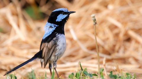 Birds learn another language by eavesdropping on neighbours